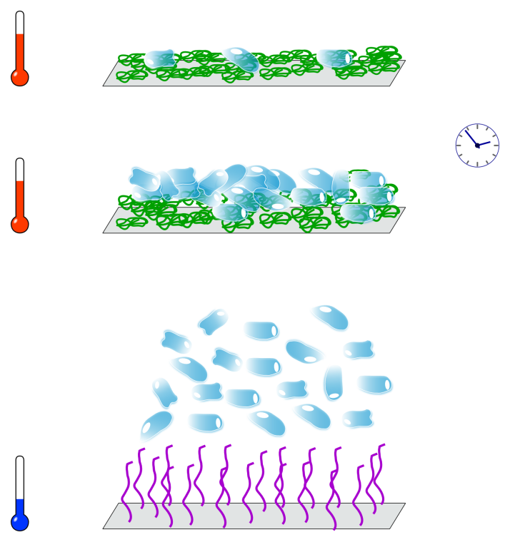 Cell culture on PNIPAM-grafted surfaces