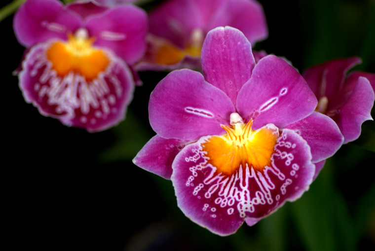 Photograph of a purple orchid