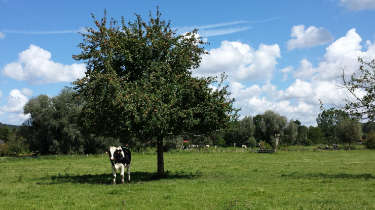 Photograph of a cow in a green prairie, under an apple tree, with cloudy blue skies in the background.